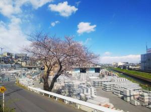 林屋桜と青空2020