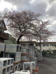 桜、成増本社